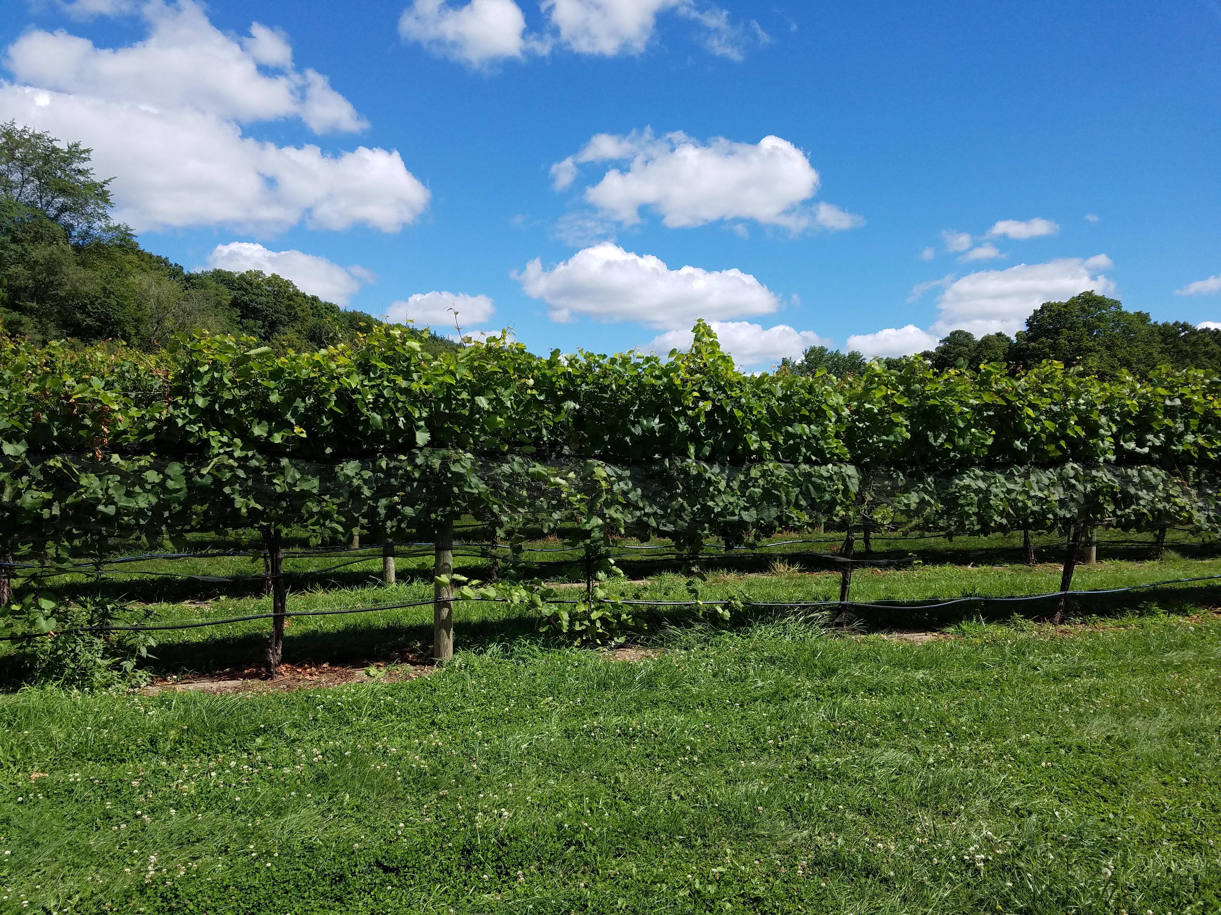 grape-vines-6077.jpg