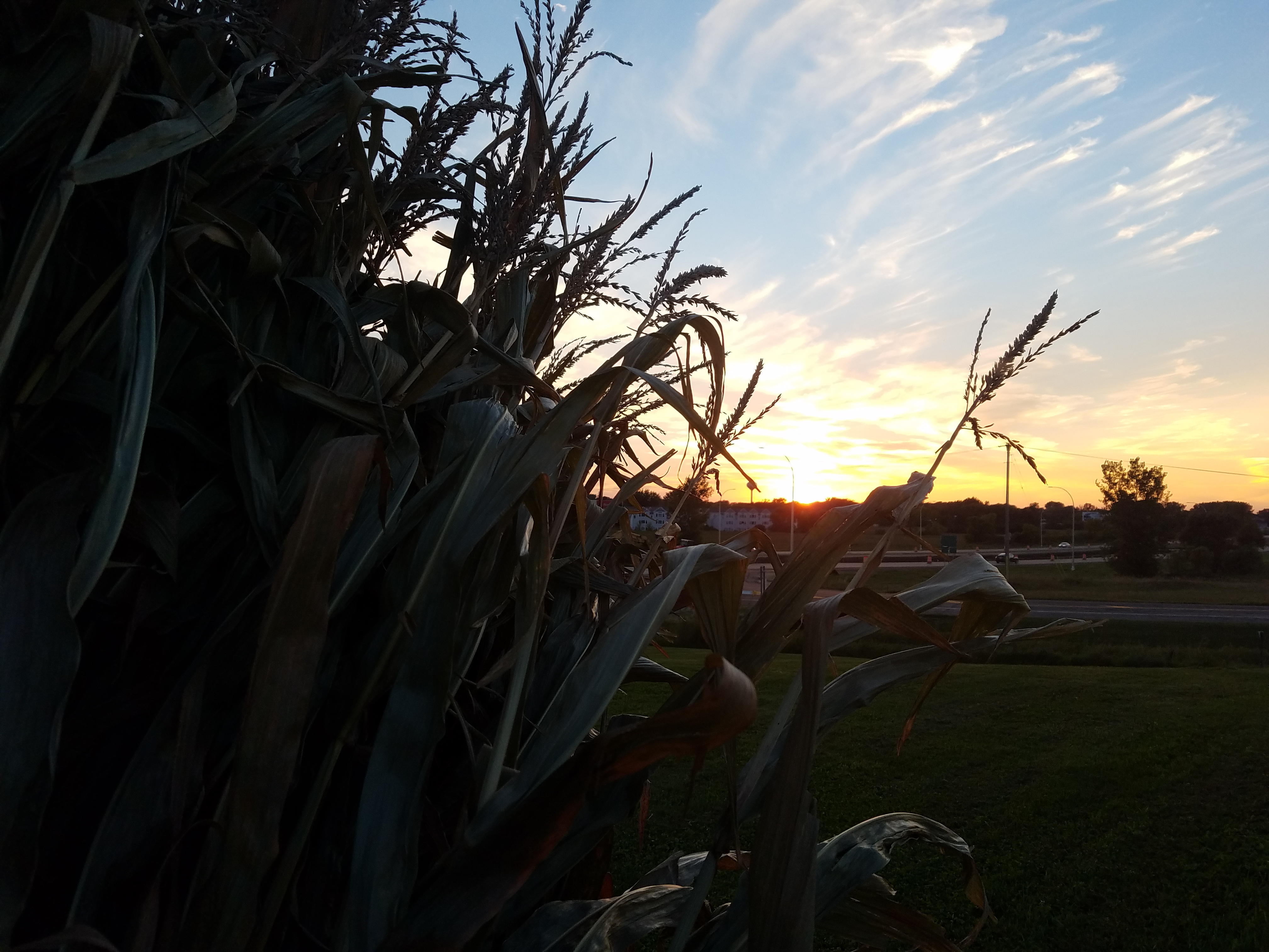 corn-stalks-sunset-421.jpg